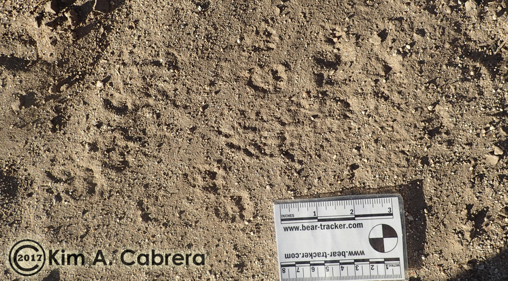 white-tailed antelope squirrel tracks