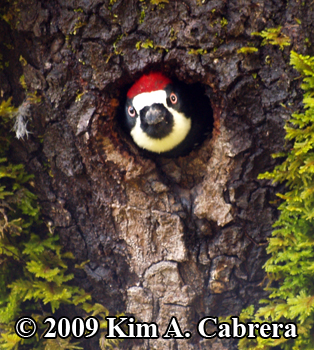 Acorn woodpecker in nest hole in a tree. Photo copyright Kim A. Cabrera 2009.
