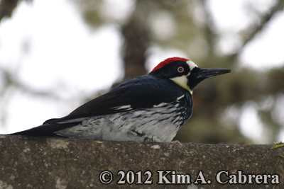 acorn woodpecker in a tree