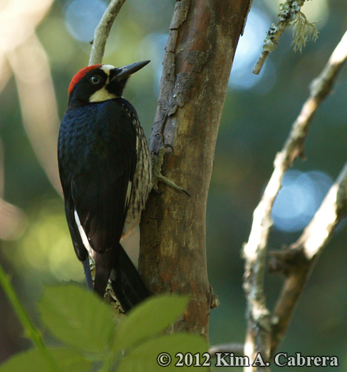 acorn woodpecker using tail feather