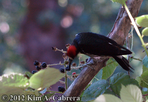 acorn woodpecker eating berries