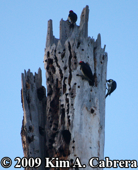 Acorn woodpeckers at work storing acorns. Photo copyright Kim A. Cabrera 2009.
