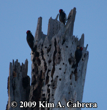 Acorn woodpeckers storing acorns. Photo copyright Kim A. Cabrera 2009.