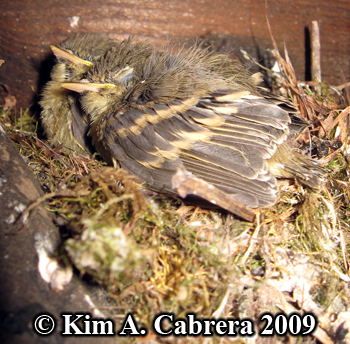 american goldfinches in  nest