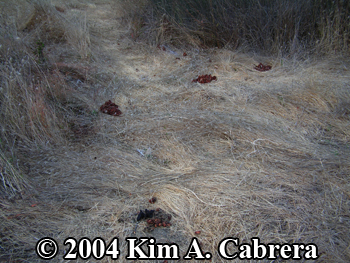 Black bear                   scats and flattened grass in orchard. Photo copyright                   2004 by Kim A. Cabrera.