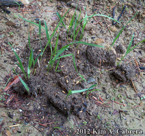 black bear scat sprouting grass