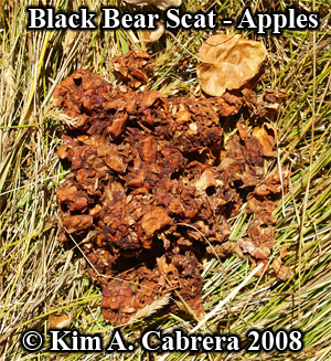 Black                   bear scat or droppings. Photo copyright by Kim A.                   Cabrera 2008.