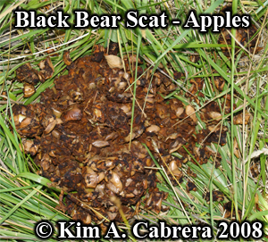 Black bear poop from apple diet. Photo copyright                   by Kim A. Cabrera 2008.