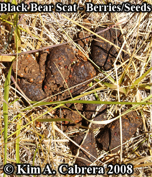 Black bear scat. Berry and seed diet. Photo                     copyright by Kim A. Cabrera 2008.