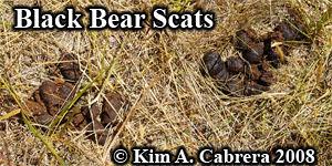 Two Black                   bear scats in an orchard. Photo copyright by Kim A.                   Cabrera 2008.