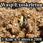 Black bear scat with a wasp exoskeleton. Photo                   copyright by Kim A. Cabrera 2008.