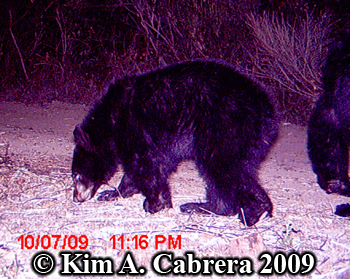 Bear cub. Photo copyright 2009 by Kim A. Cabrera.