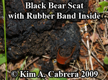 Black bear scat with rubber band. Photo copyright                   2009 by Kim A. Cabrera.