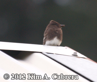 parent Black Phoebe watching over its nest