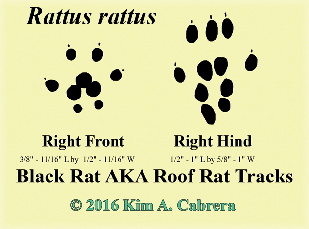 black rat tracks drawn by Kim A.  Cabrera