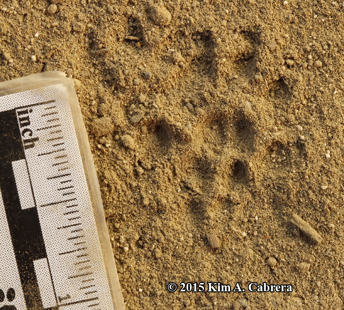 close up of a black rat track in dust