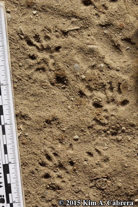black rat tracks in walking gait