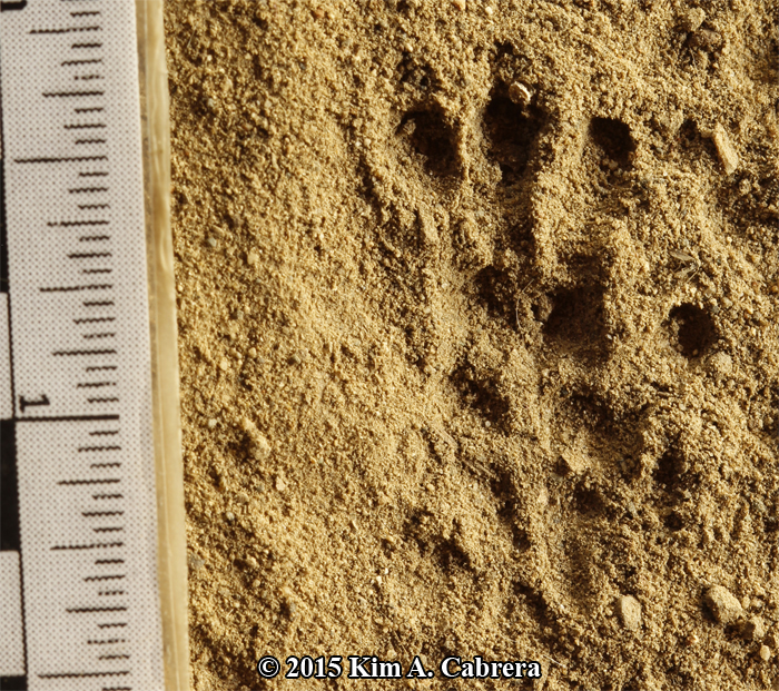 hind track of a black rat not showing all toes