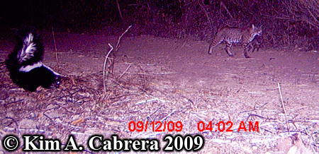 skunk and bobcat on trail camera