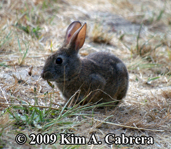 brush rabbit eating grass. Photo by Kim A.                     Cabrera