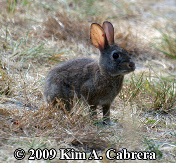 brush rabbit sniffing the air. Photo by Kim A.                     Cabrera