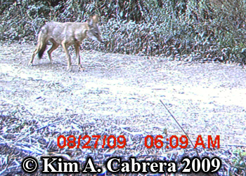 coyote scent marking. Photo copyright Kim A. Cabrera 2009.