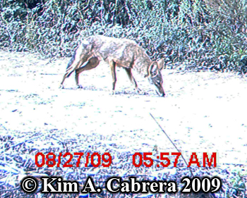 coyote sniffing trail. Photo copyright Kim A. Cabrera 2009.