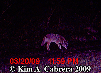 curious coyote at night. Photo copyright Kim A. Cabrera 2009.