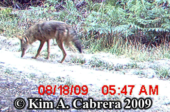 coyote from side. Photo copyright Kim A. Cabrera 2009.