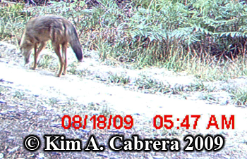 curious coyote. Photo copyright Kim A. Cabrera 2009.