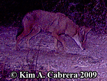 coyote pawing ground. Photo copyright Kim A. Cabrera 2009.