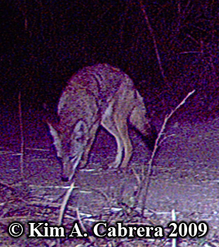 coyote at night. Photo copyright Kim A. Cabrera 2009.