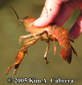 crayfish from the Eel River