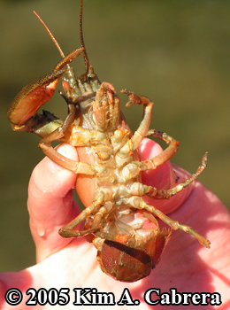 underside of a crayfish