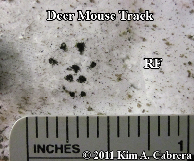 deer mouse track right front foot