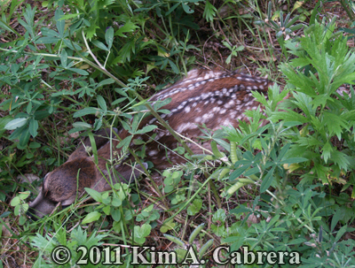 fawn                     hidden in the grass
