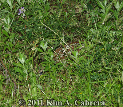 can you find the fawn hidden in this grass?