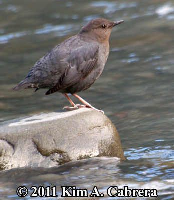 dipper on rock in river