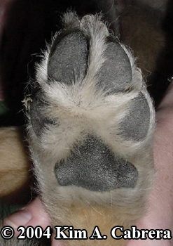foot of large dog. Photo copyright Kim A. Cabrera