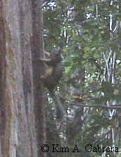 Douglas' squirrel scolding me from a tree.