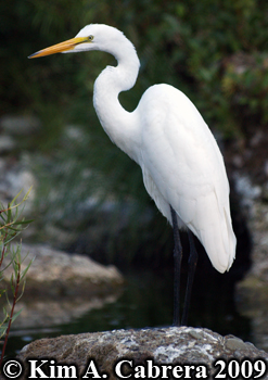 egret in Eel River