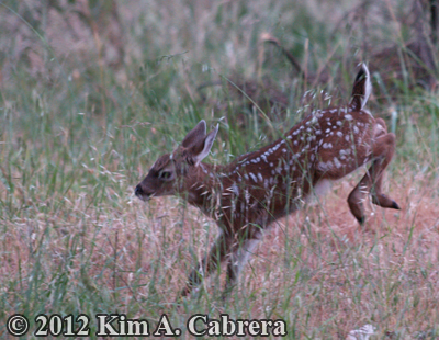 fawn kicking up its heels