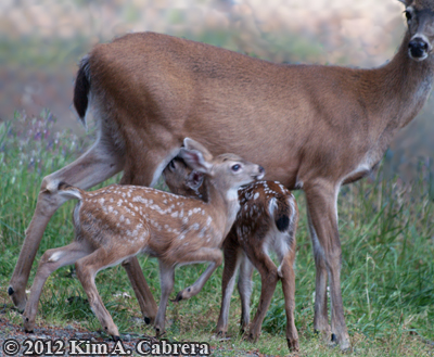 twin fawns trying to nurse at the same time