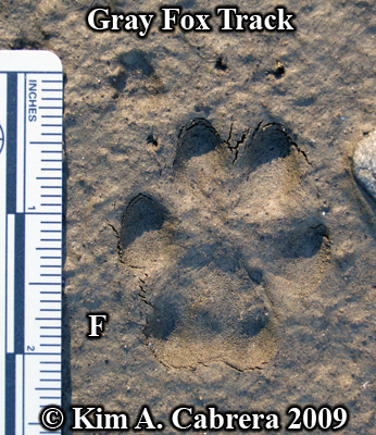 Gray fox track in mud. Front track. Photo by Kim A. Cabrera 2009.