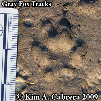 Gray                       fox track pair in mud. Photo by Kim A. Cabrera                       2009.