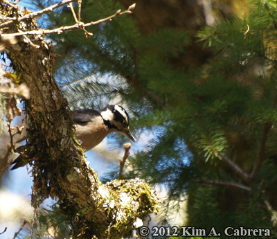 hairy woodpecker scaling bark