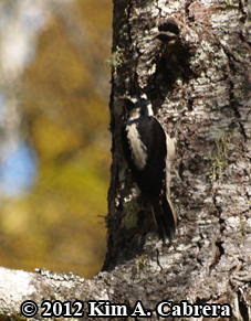 hairy woodpecker scaling bark from Douglas fir                   tree
