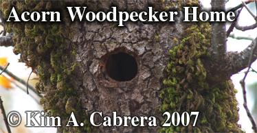 Acorn woodpecker nest hole in oak tree. Photo copyright by Kim A. Cabrera 2007.