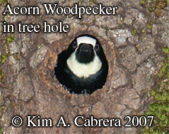Acorn woodpecker peeking out of a hole in an oak. Photo copyright by Kim A. Cabrera 2007.