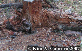 Log                             ripped into by black bear. Photo copyright                             by Kim A. Cabrera 2007.